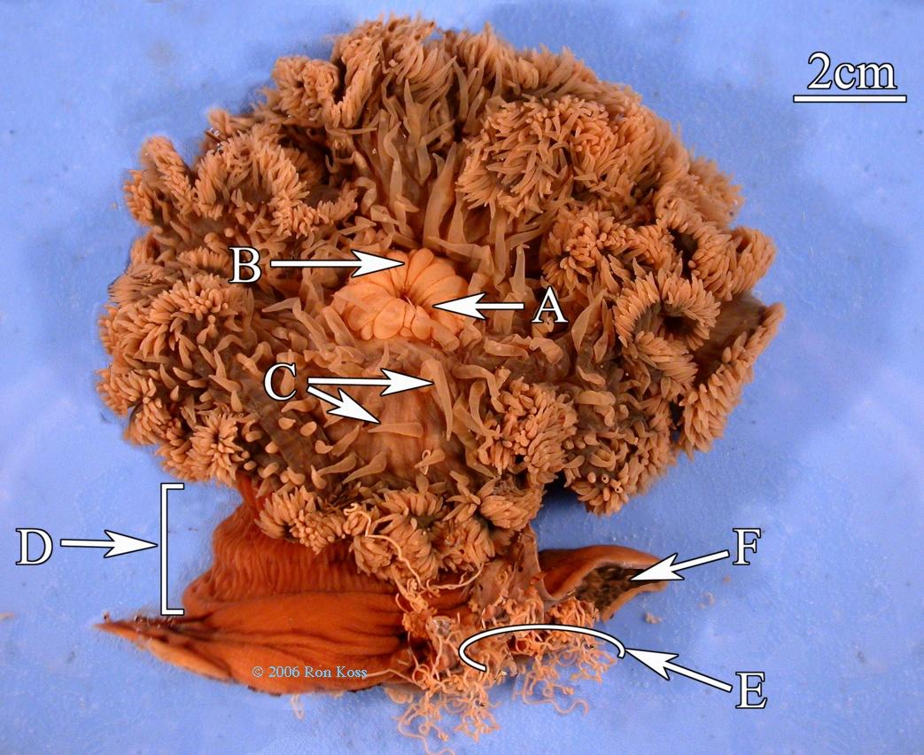 Z250 Lab 03 Cnidaria Study Images Hydra Diagram Pictures Becuo Metridium