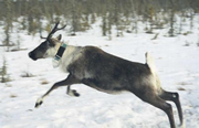 http://www.biology.ualberta.ca/faculty/bio-587/uploads/images/caribou_wasel.jpg