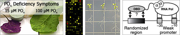 Transcriptional regulation of aluminum and phosphate stress-responsive genes in plants