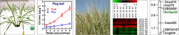Cloning genes responsible for low grain cadmium concentration in durum wheat