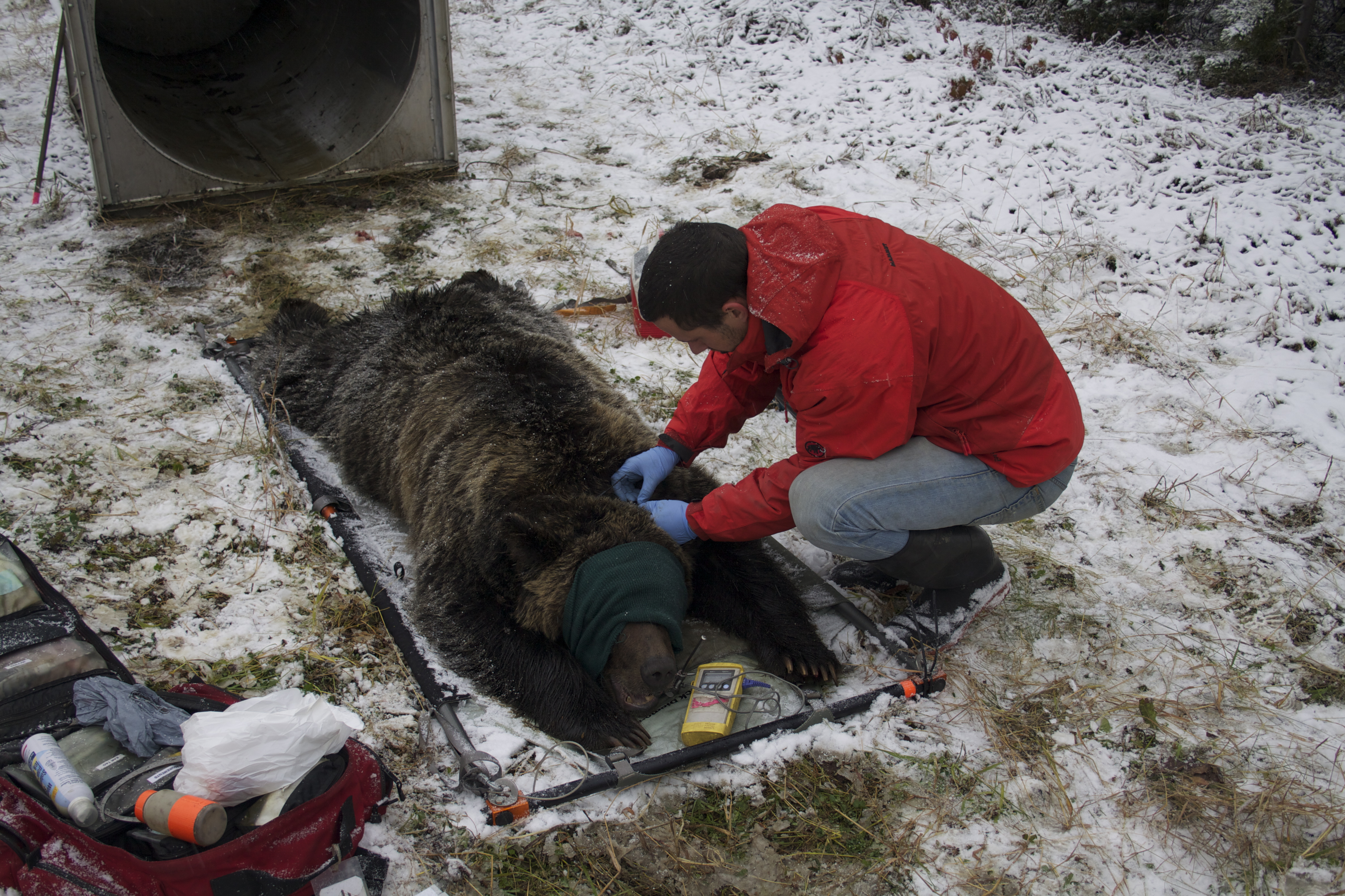 humans impact on grizzly bears essay Human impact on brown bear conditions affecting the detection of grizzly bears at fixed ecological papers, contributions to the human dimensions of.