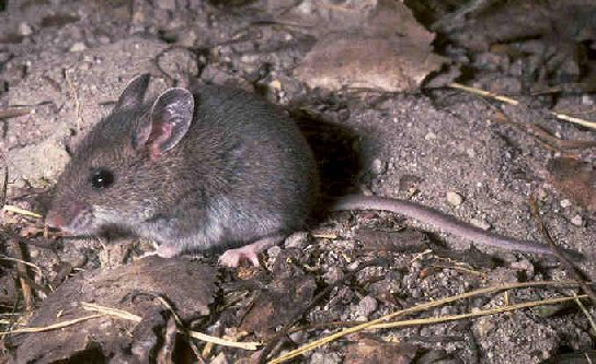 Adult size of a deer mouse